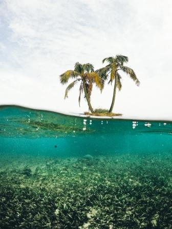 Panama Palms